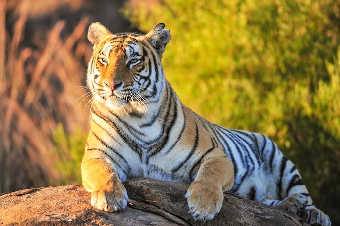 Tiger Kings - Dela